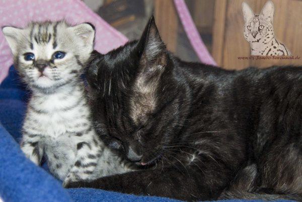 Savannah Kitten Headie im Alter von 3 Wochen mit Ihrer Mutter.
