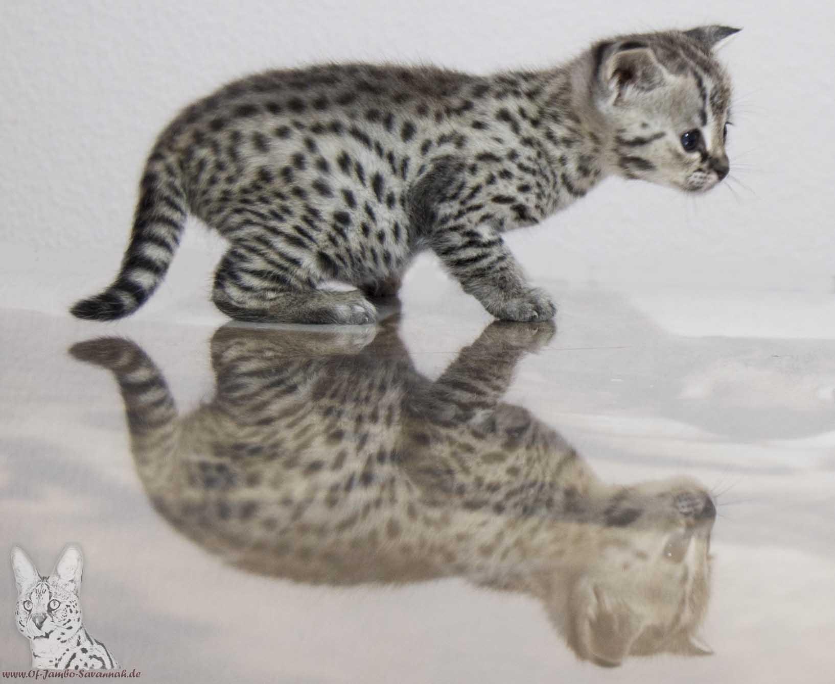 kitten savannahcat of jambo savannah cats. Black Bedroom Furniture Sets. Home Design Ideas