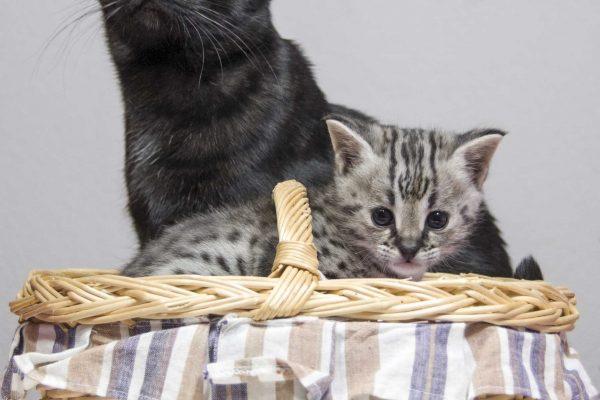 Unsere F5 black-smoke Savannah Aleika mit Ihrem F1 Kitten Headie. Geboren am 11.10.16