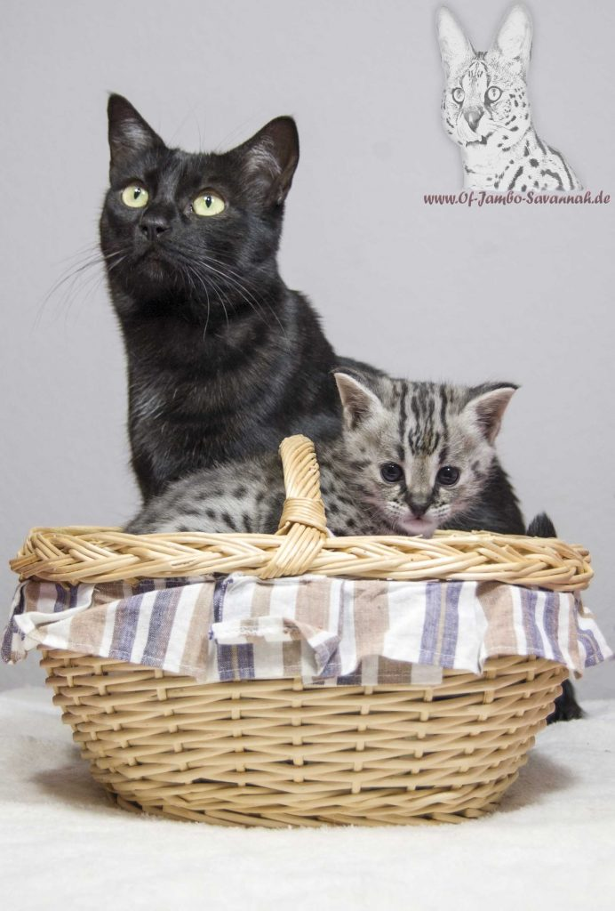 aleika f5 savannah mit f1 kitten of jambo savannah cats. Black Bedroom Furniture Sets. Home Design Ideas
