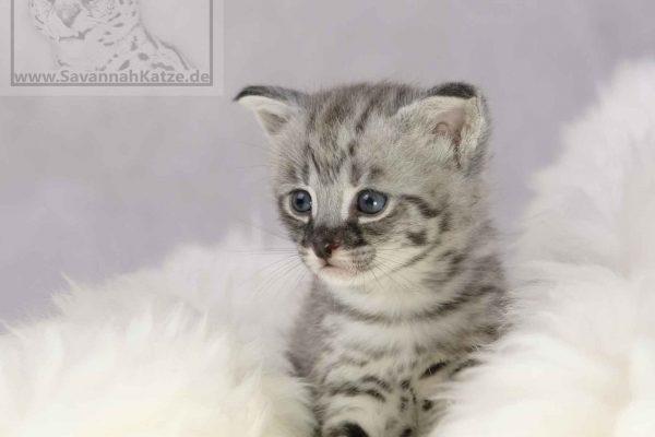 Savannah Katzen als Haustier