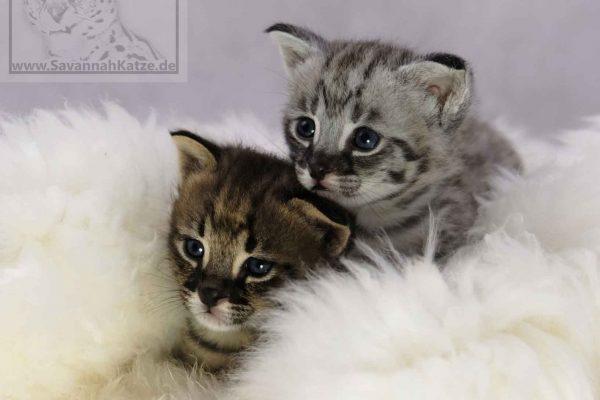 Kitten abzugeben, Savannah Katzen, F1,