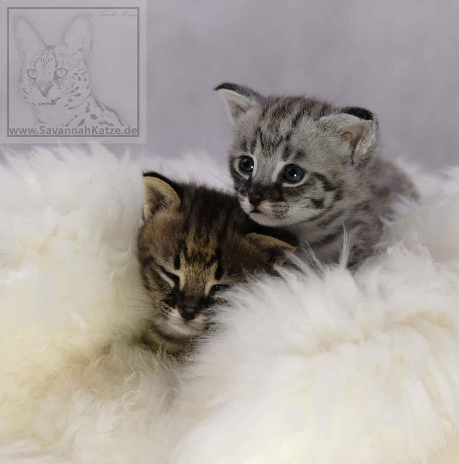 savannah katzen abzugeben of jambo savannah cats. Black Bedroom Furniture Sets. Home Design Ideas
