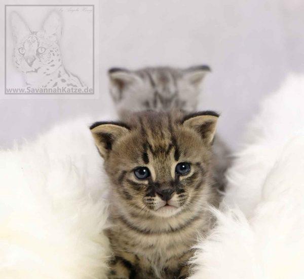 Savannah Kitten verfügbar
