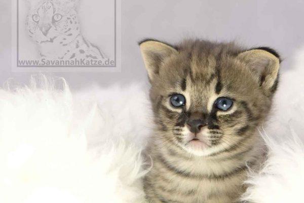 F1 Savannah Kitten verfügbar