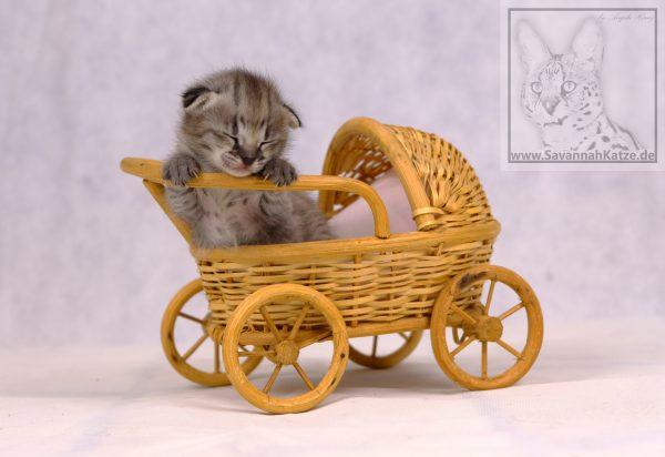 F1 Savannah Kitten aus seriöser Zucht