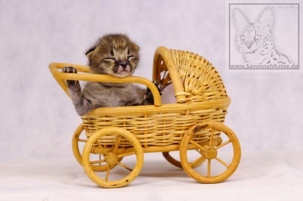 Schönes F1 Savannah Katzen Baby