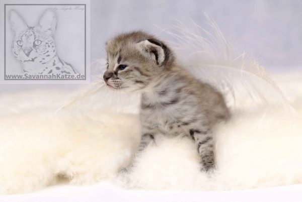 silver-black-spotted-tabby F1 Savannah Kitten