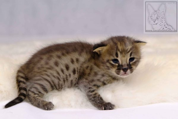 F1, Kater, male, breeder, Savannahcat, Savannah cat, black-spotted-tabby
