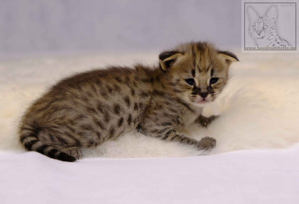 Babykatze, F1 Savannah, available