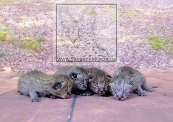 Available F1 Savannah Kitten 10 Days old