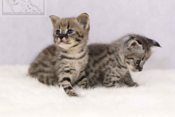 F1, Savannah, Kitten, Kitty, Katze, Cat, available