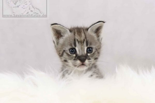 F1 Savannah, Savannah Katze, Savannah Kitten, F1, Kitten, Kitties