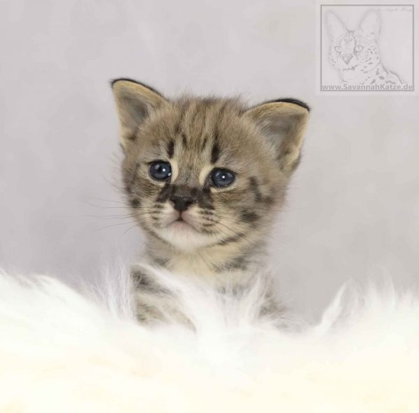 F1, Savannah, Kitten, Kitty, available, Savannahcat,