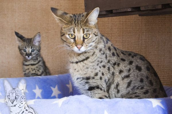 In the foreground stands your F1 Savannah cat Bella of Jambo! Bella is slightly older than 1 year. In the background sits F1 Kitten Phoenix. Phoenix is 12 weeks old on this picture!