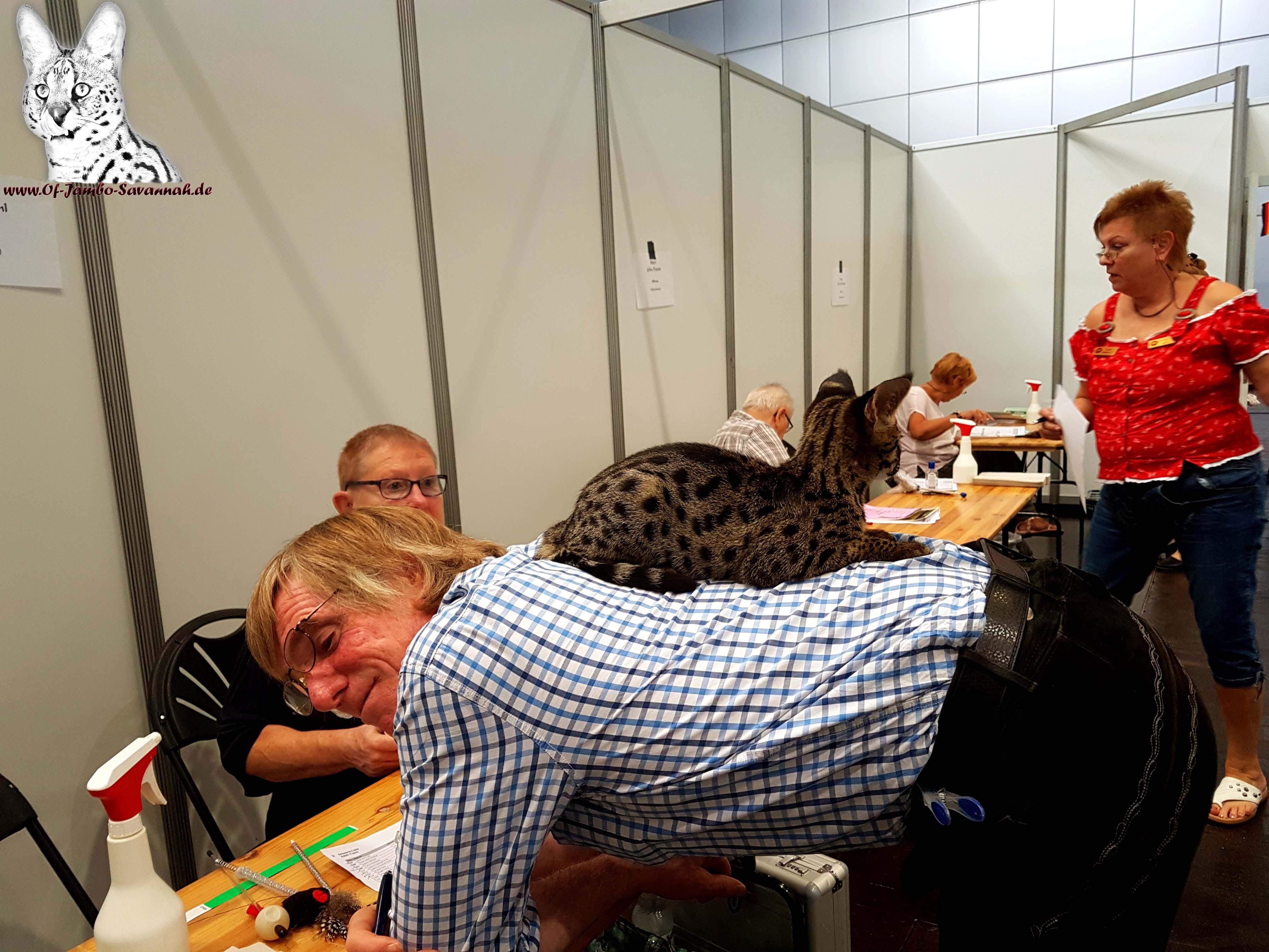 """Savannah Katze """"Elli of Jambo"""" auf einer Katzenausstellung in Leipzig! Savannah Katzen von Angela Hönig sind so gut sozialisiert, das sie sie sogar auf Ausstellungen internationalen Ausstellungen präsentieren konnte!"""
