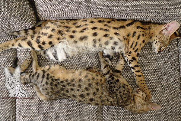 Savannah Katze unten, Oben afrikanischer Serval!