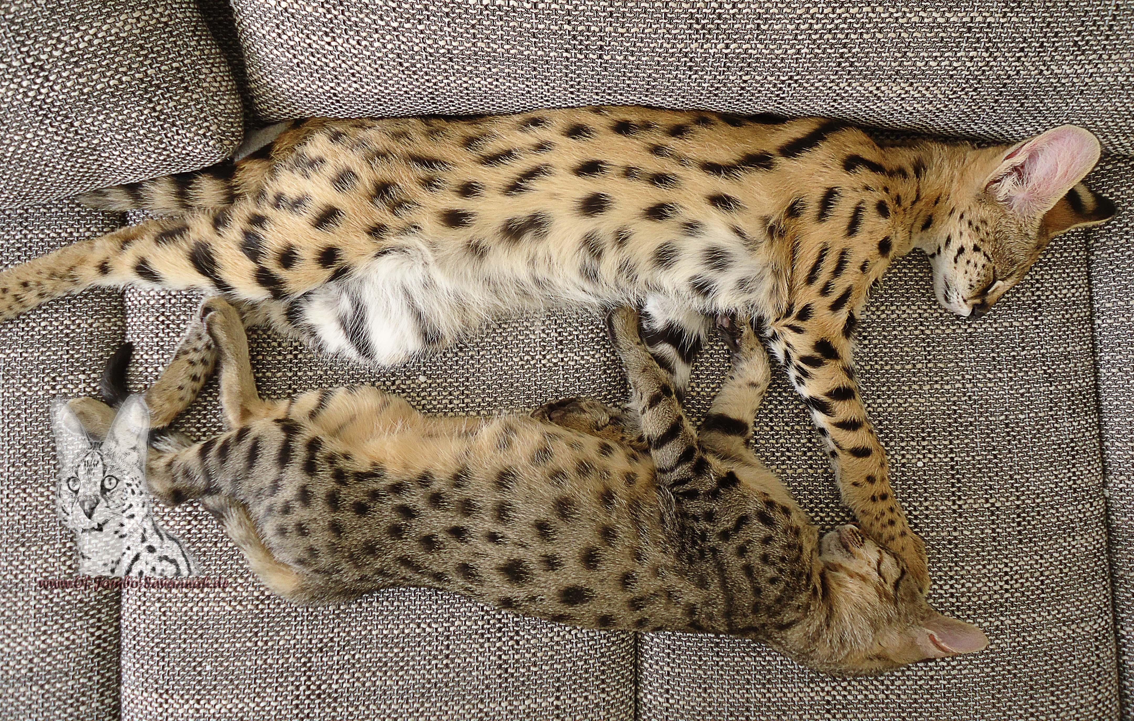 savannnah und serval katze of jambo savannah cats. Black Bedroom Furniture Sets. Home Design Ideas