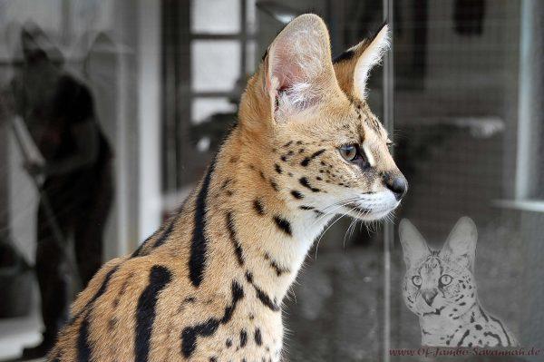 Hier sehen sie unseren Serval Thor. Er ist der Vater unserer F1 Savannah Kitten. Thor ist von mir aufgezogen wurden und liebt mich über alles.