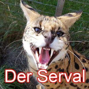 Die Serval Katze