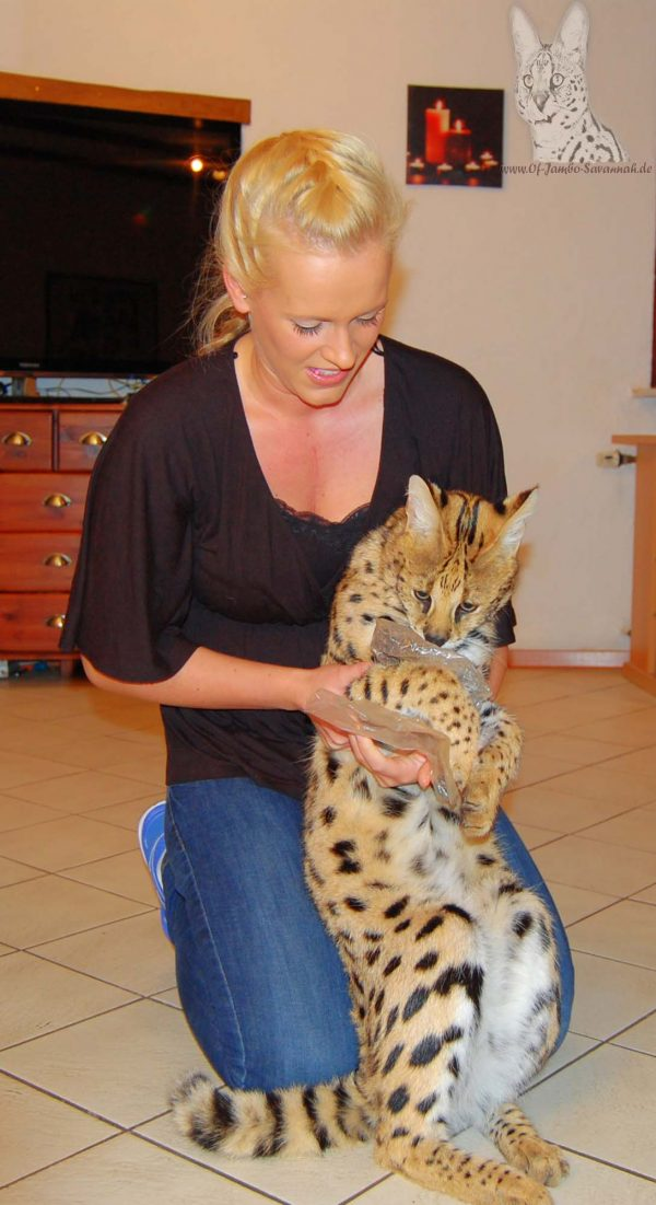 "Savannah breeder Angela Hönig with the African Serval ""Thor"""