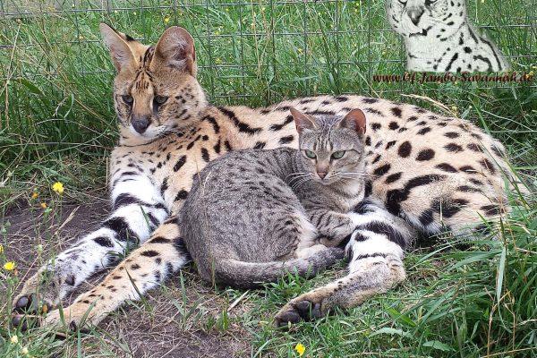 Serval Thor liebt seine Savannah Katzen und sie lieben ihn. Einfach traumhaft die Savannahkatzen und den Serval beim schmusen zu beobachten!