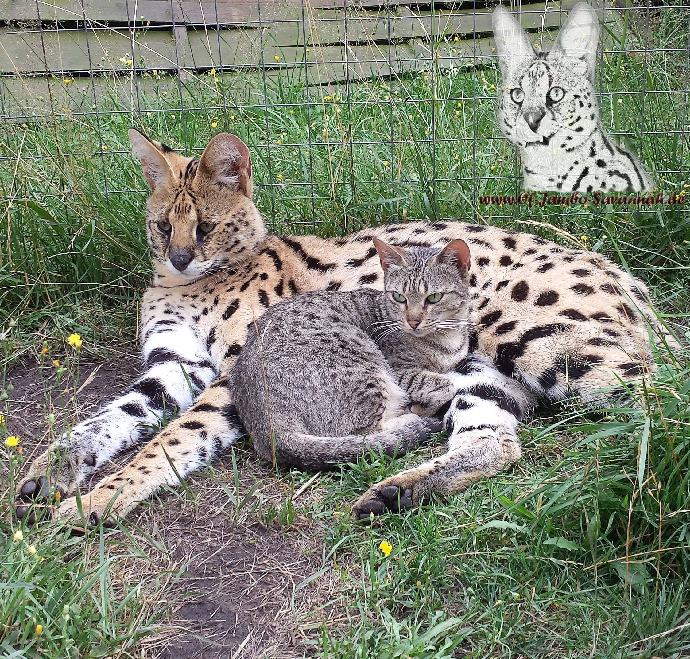 Savannah Cat Video