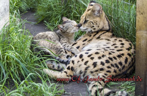 Serval Thor mit Savannah Katze