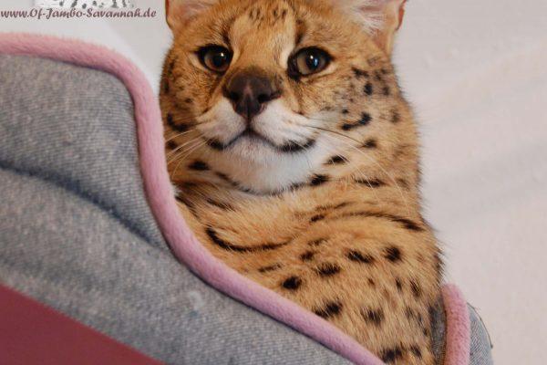Hier der Kopf von Serval Thor von Angela Hönig aus Deutschland. Die weltbekannte Savannah Katzenzüchterin hat ein super Verhältniss zu Ihrem Serval. Beide schmusen jeden Tag!