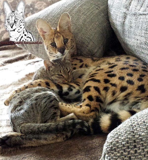 Auf diesem Bild könnt Ihr schön erkennen wie gut sich Servale mit Ihren vertrauten Savannah Katzen verstehen!