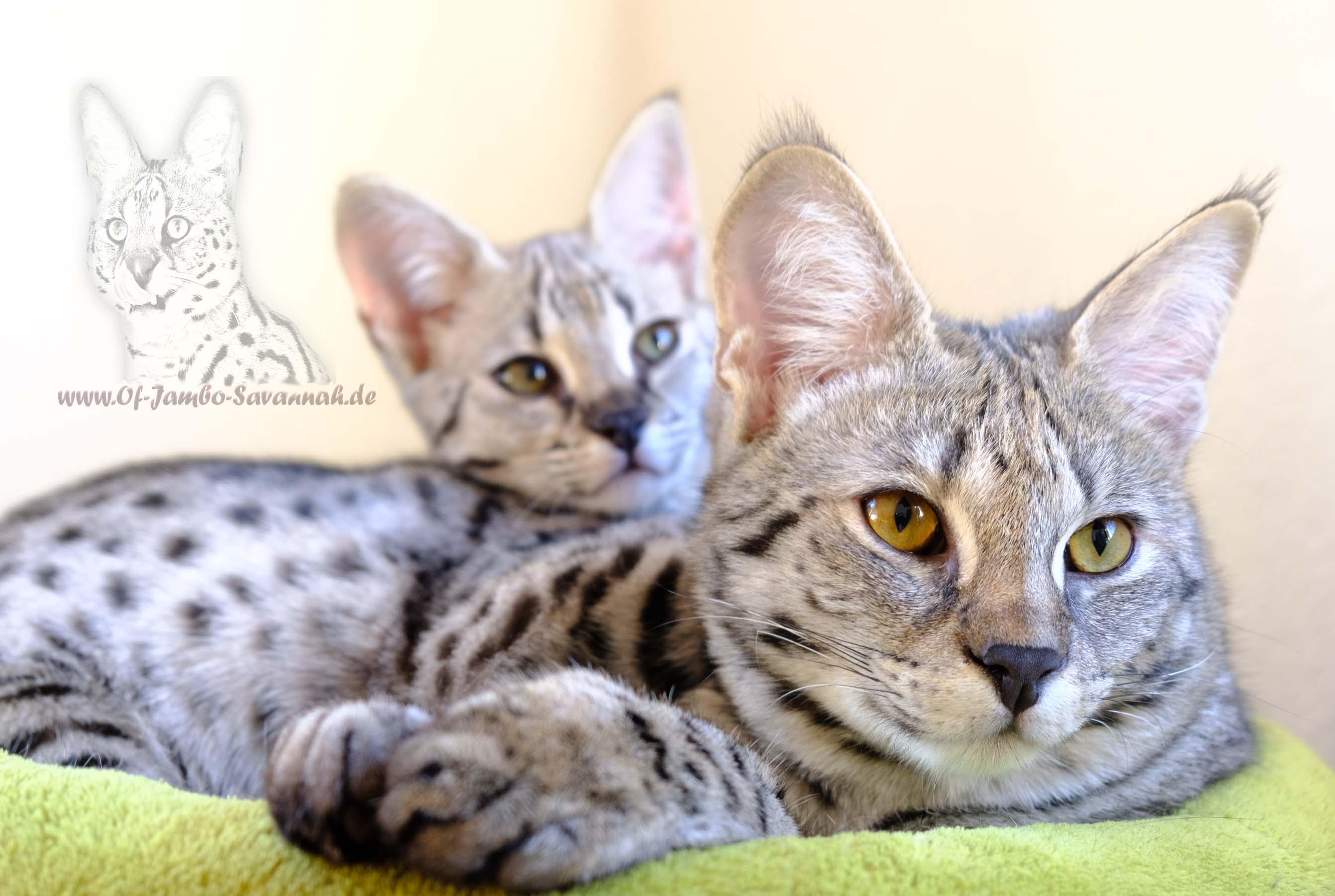 silver f1 savannah cats of jambo savannah cats. Black Bedroom Furniture Sets. Home Design Ideas