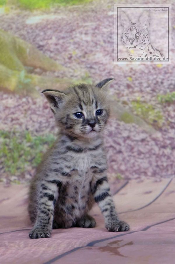 F1 Savannah Cat available