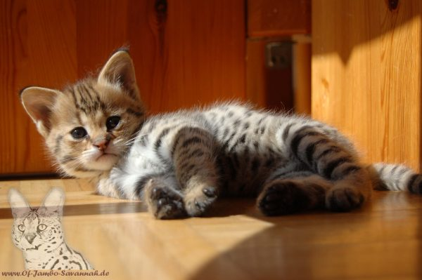 F1 Savannah Kitten Bella of Jambo im Alter von ca. 6 Wochen.