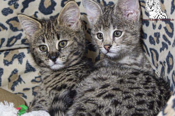 F1 Savannah Kitten. Zwei Jungs ;-)