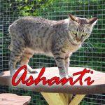 Ashanti Of Jambo ist eine F5 Savannahkatze von der Savannahzucht OF Jambo Savannah. Sie ist die Mutter von F1 Savannah Bella.