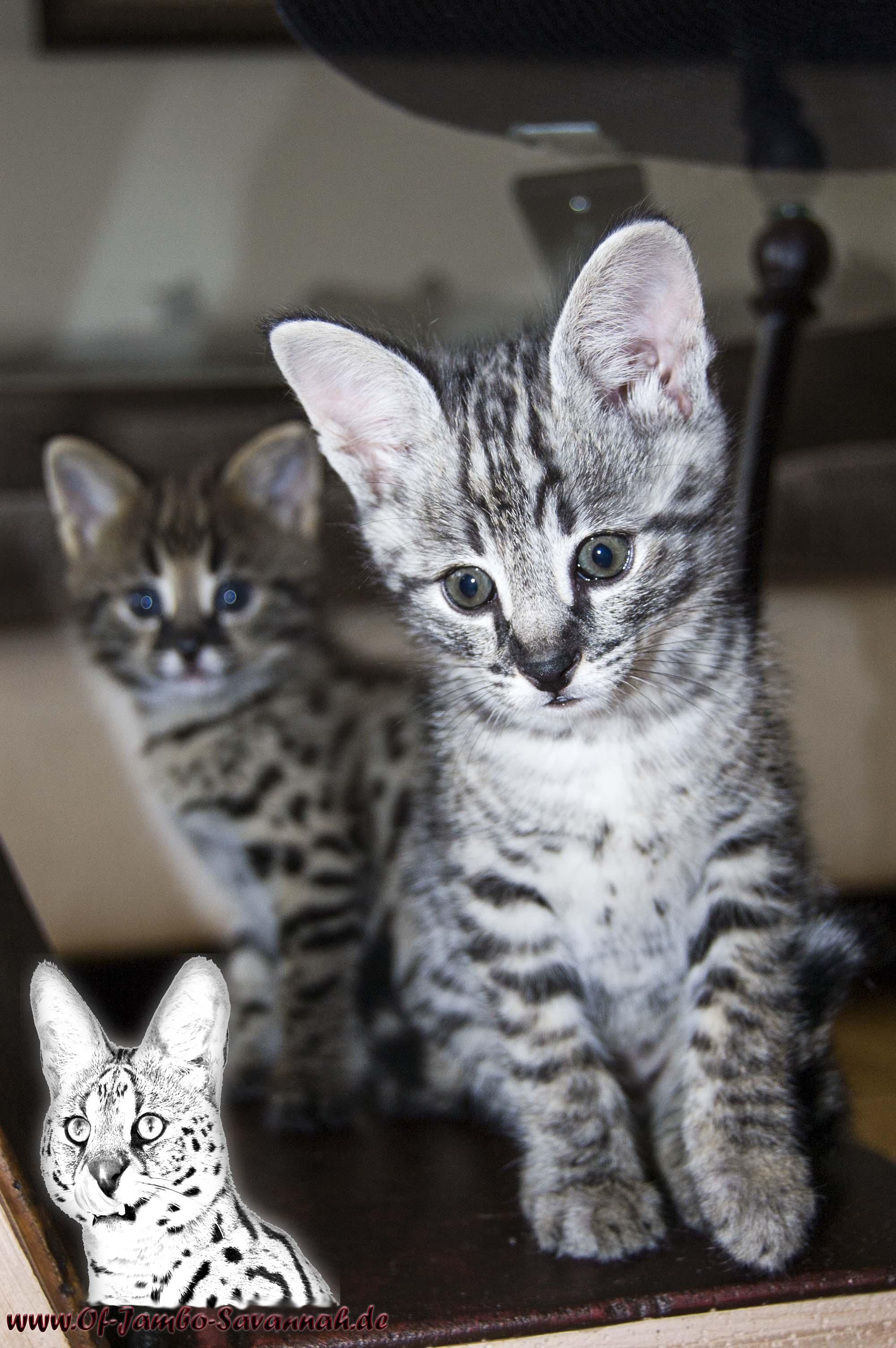 F1 Savannah Kitten von Angela Hönig! Zwei Jungs, vorne ein silberner F1 Junge und hinten ein brauner F1 Savannah Junge.