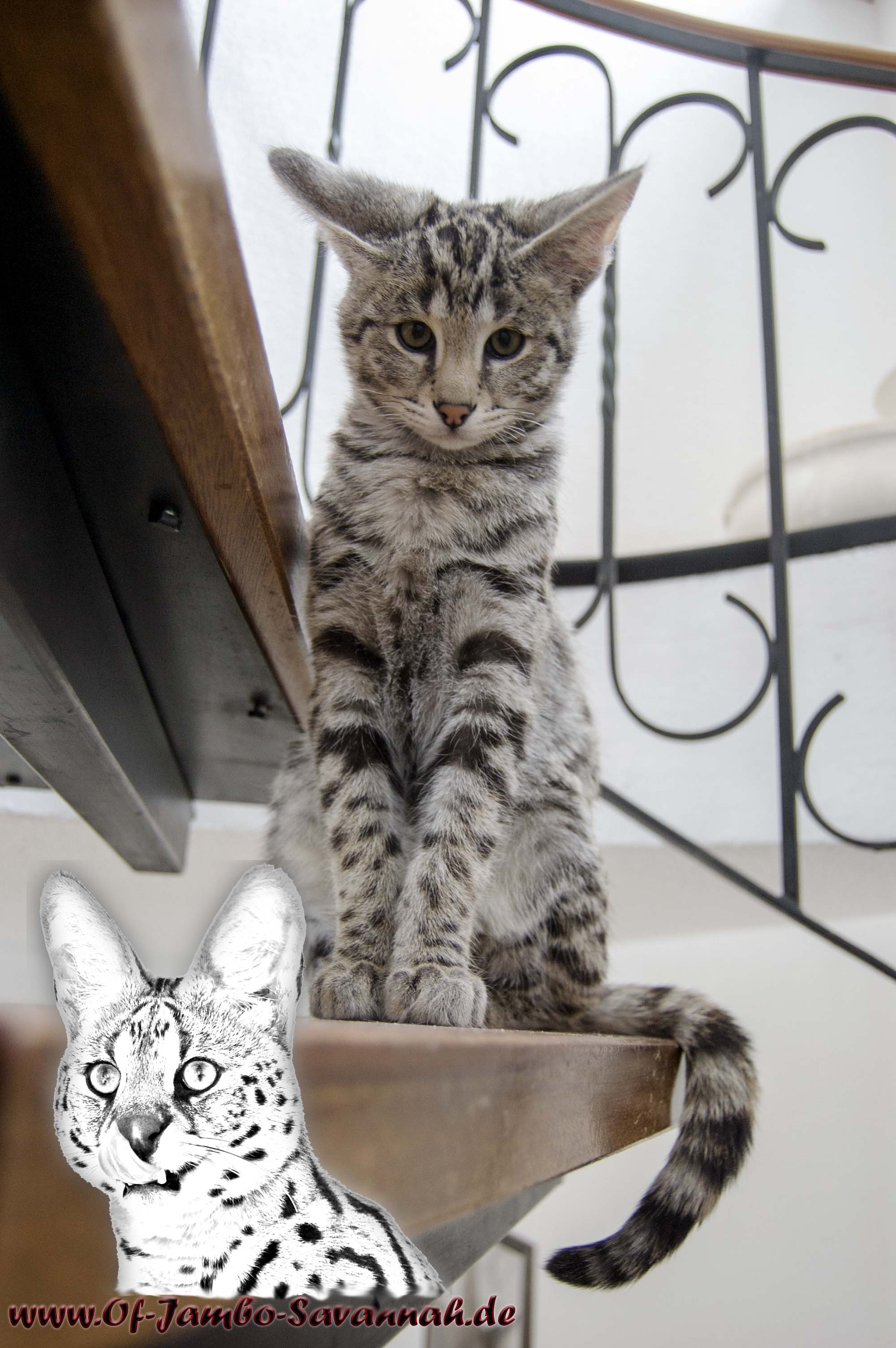 "In this picture you can see very beautiful the big ears of F1 Savannah ""Diamond of Jambo"" from the German Savannah breed ""Of Jambo Savannah Cats"""